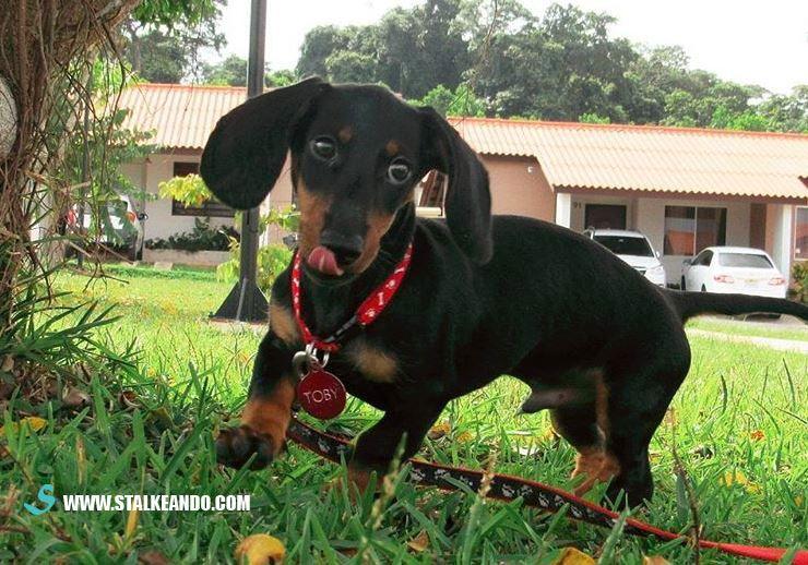 Cuidados importantes para un dachshund , también conocido como Teckel o perro salchicha